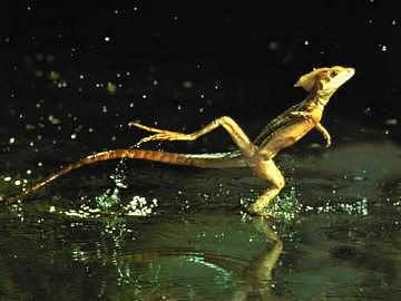 """May i present """"The Jesus Lizard"""" Thats actual;;y what they are called!! Some things in life are just great."""
