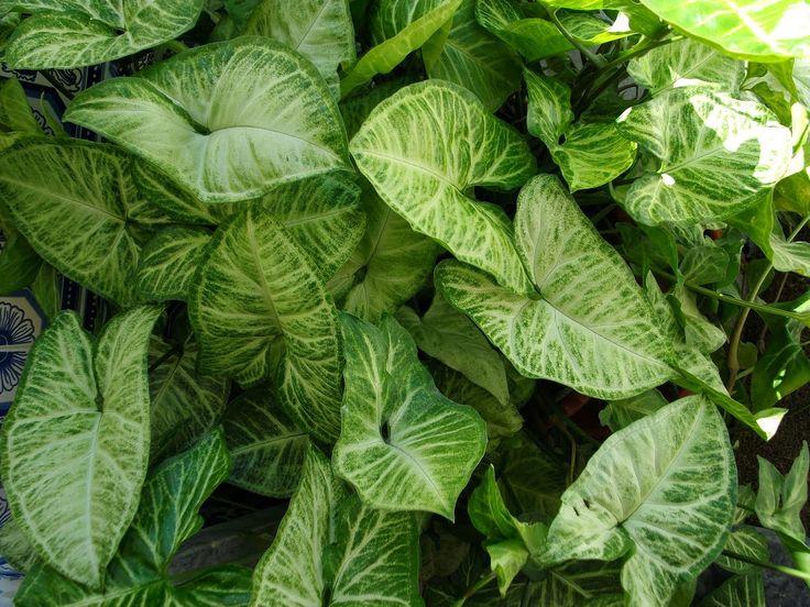 planta singonio verde - Pesquisa Google