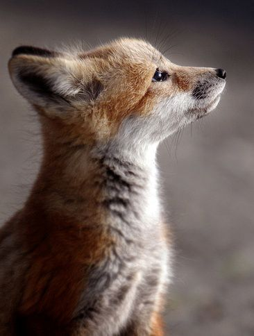 What a darling little baby fox!