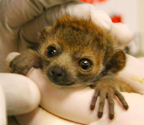 Meet Sacramento Zoo's New Mongoose Lemur!Mongoo Lemur, Baby Mongoose Leumr, Baby Lemur, Big Eyes, Meeting Sacramento, Cute Animals, Adorable Wild, Mongoose Leumr Sacramento Zoos, Mongoose Lemur