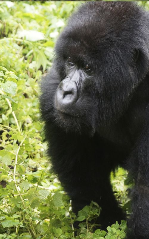 The Volcanoes National Park is the land of the gorillas and the place where famous Diane Fossey studied them for her whole life. In fact, her tomb is located within this park. www.espressofiorentino.com #gorillas #gorilla #africa #jungle #rwanda