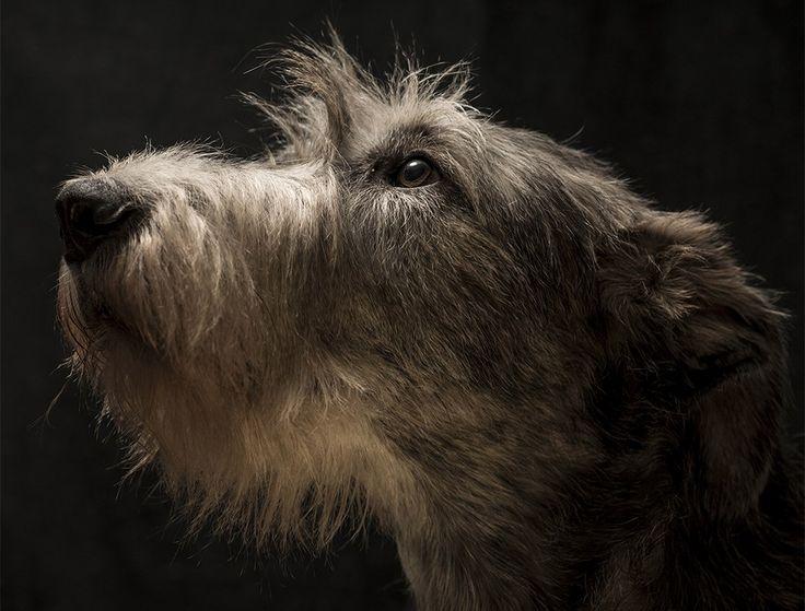 Irish Wolfhound, El Alma del Lobo Irlandés