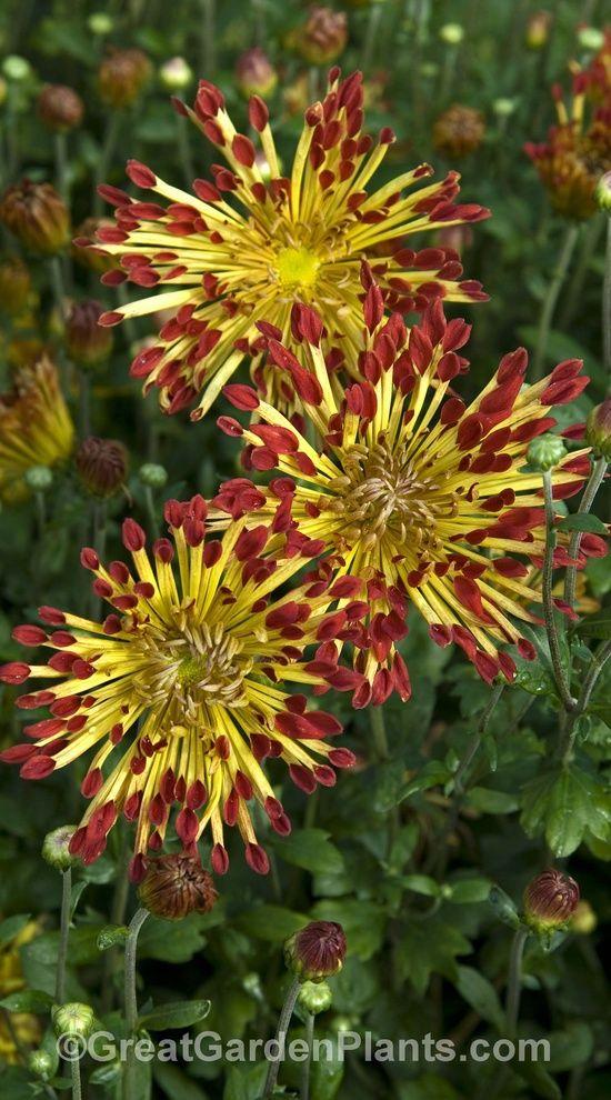 Perennial Garden Ideas Zone 4 best 20+ zone 4 perennials ideas on pinterest   purple perennials