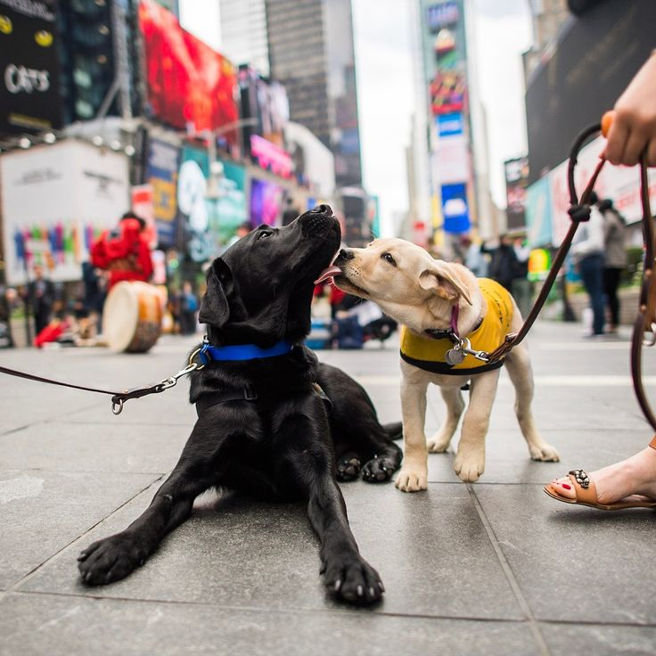 """Charlie & Smudge, Labrador Retrievers (10 & 4 m/o), Times Square, New York, NY • """"Charlie is the @Todayshow's 'Puppy with a Purpose' and is about halfway through his training for @americasvetdogs – we are hoping to have him ready for a veteran by December. He can be trained to retrieve any sort of assistive device – a cane, a wheelchair, or prosthetic limbs. We take them to environments like this so they can learn to feel comfortable with a lot of distractions. When they're comfortable…"""