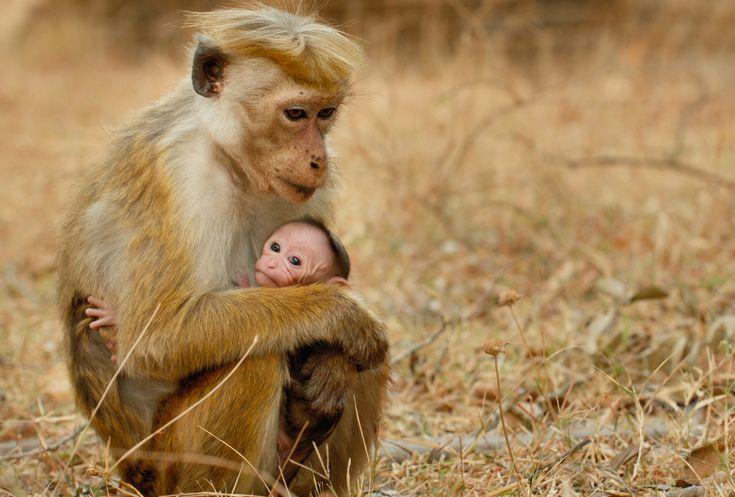 DisneyNatures latest release Monkey Kingdom opens TODAY!  #monkeykingdom #disneynature