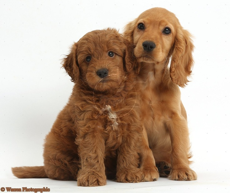 Golden Cocker Spaniel puppy,  snuggling up to a red Goldendoodle puppy.