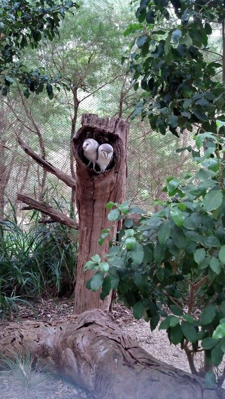 Owls at Healsville sanctuary. Pic by Tracey