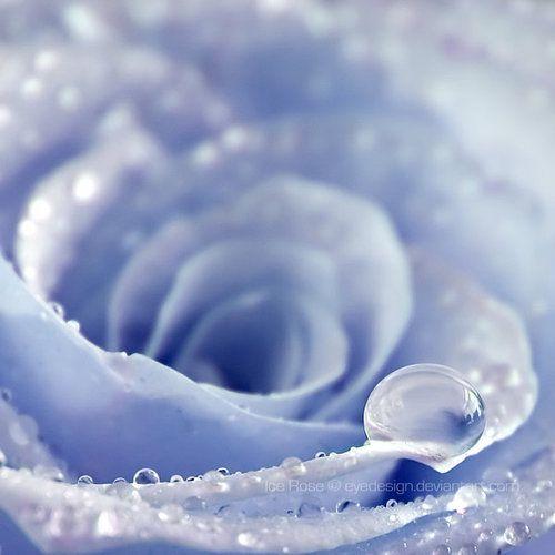 light blue rose