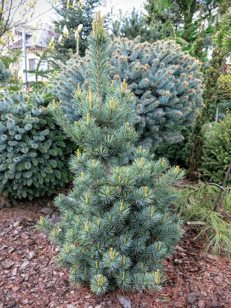 Pinus parviflora 'Burke's Bonsai'