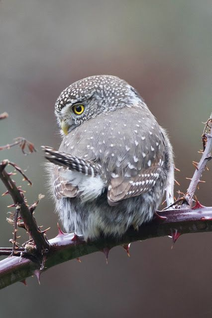 Cutest Little Owlet | Content in a Cottage