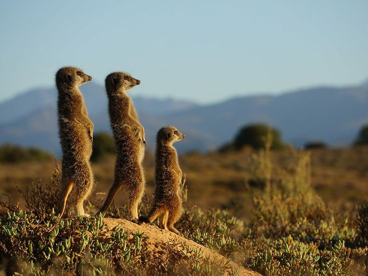 Picture of meerkats looking into the distance - onto the Swartberg Mountains in the Oudtshoorn area. Photo: Clemens Capek