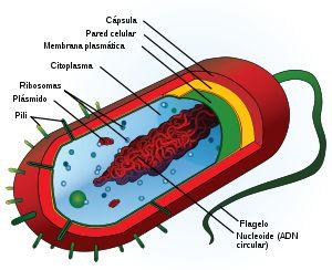Resultado de imagen para celula procariota dibujo