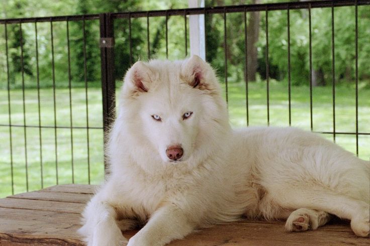 Beautiful White Siberian Husky Pups for Sale