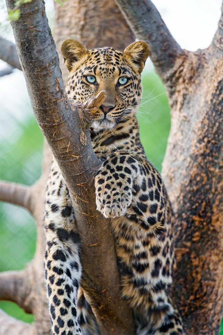 "Africa | ""Choetta"" Female leopard in a tree.  South Africa 