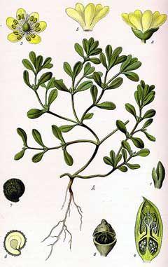 Portulaca oleracea Green Purslane, Little hogweed PFAF Plant Database