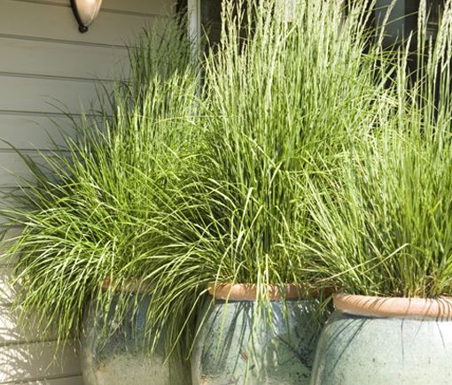 lemongrass - mosquito repellent | Exterior | Pinterest ...