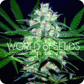 Pakistan Valley - strain - World of Seeds | Cannapedia