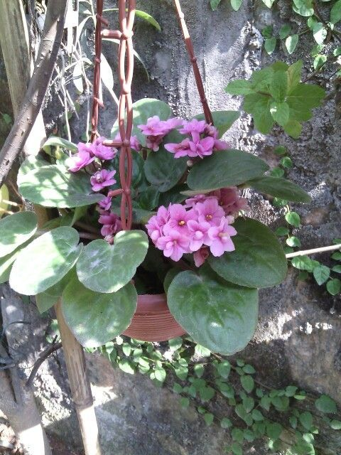 If you hang African Violets outside, be sure to keep them out of the sun. More info at: https://www.houseplant411.com/houseplant/african-violet-grow-care