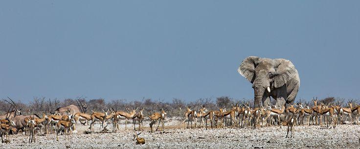 """Majestic elephant bull"" in Etosha National Park, Namibia ©Annemarie du Plessis"