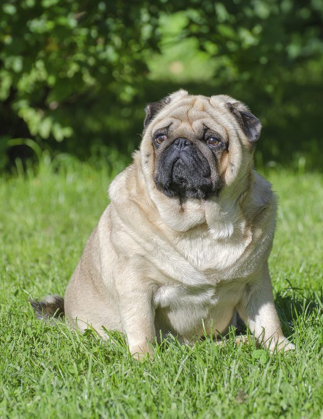 Overweight Dogs Can Benefit From The Green Bean Diet