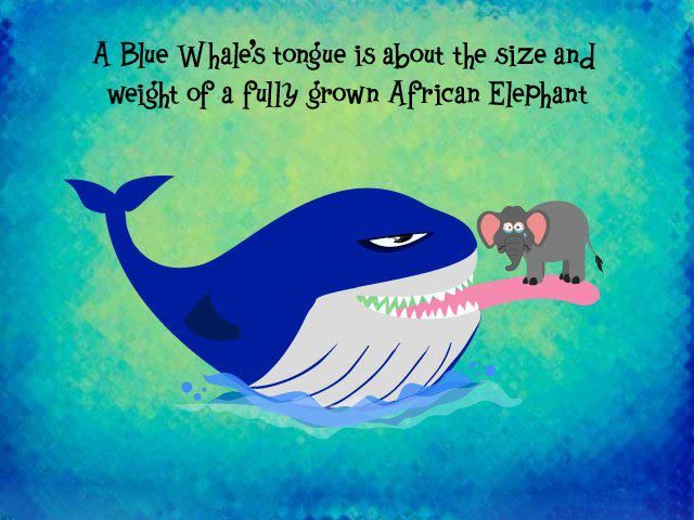 To clarify for the pedants: - A female full grown African elephant, males are larger. - No, blue whales do not have pointy teeth. Or teeth in general - A blue whale cannot swallow anything this large, they are filter feeders.