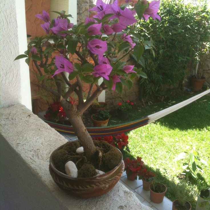 Bugambilia bonsai en el jard n naturaleza rboles y for Bonsai de jardin
