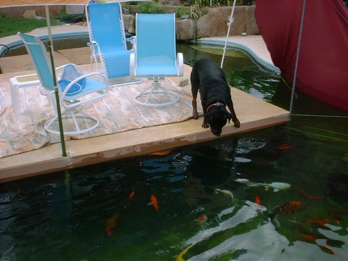 17 best images about dogs and koi on pinterest for Koi pond swimming pool