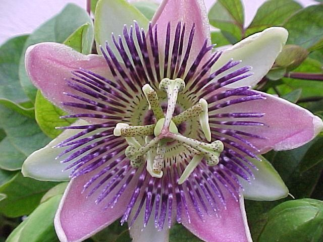 Passiflora belotii