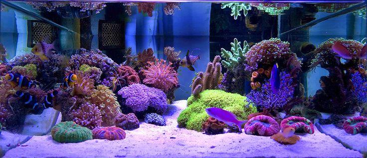 Mastermind9 39 s stunning 37 gallon shallow nano reef for Aquarium recifal nano