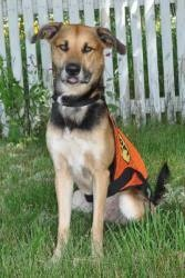 Jazz is an adoptable German Shepherd Dog Dog in Pelham, NH. Jazz is an adorable 1 1/2 yr old German Shepherd mix that is very energetic and loving. He is a goofball who loves to play! He is currently ...