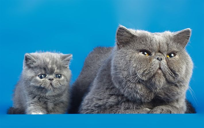 Download wallpapers British shorthair cat, small gray kitten, cute animals, domestic cats, gray cat, breeds of British cats