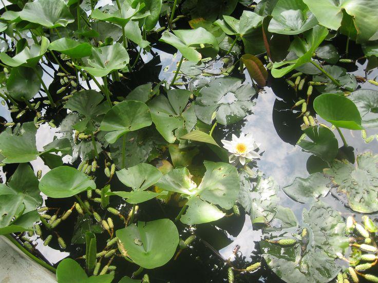 "Lotus flowers in ""Alexandru Borza"" Botanic Garden, Cluj-Napoca, Romania"