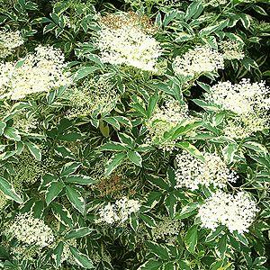 Sambucus nigra - 'Variegata' (Variegated Elder)  TypeShrub (Multi-stemmed Plant), Deciduous, Flowering  FormRounded Multi-Stemmed Bush  SizeLarge Border / Screening Plant (1.8 to 3m height)  ColoursWhite Flowers (Summer early), Variegated green-gold Foliage  CareSome Maintenance Required - Tough Plant  HardinessVery hardy  GrowthFast Growing Plant