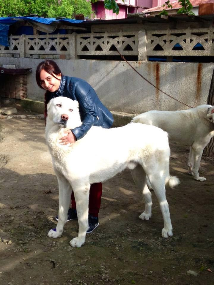 17 Best Images About Kangal Dogs And Woman Kpei