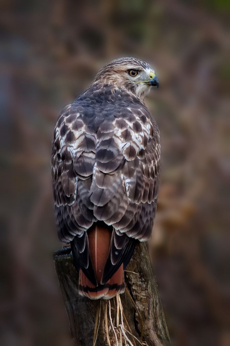 Birds of Prey - Red tailed hawk - by Phillp Dunn - Love how you can see the red tail feathers.