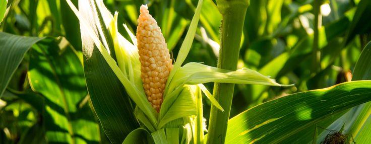#Kukuruz – povrće bez #glutena