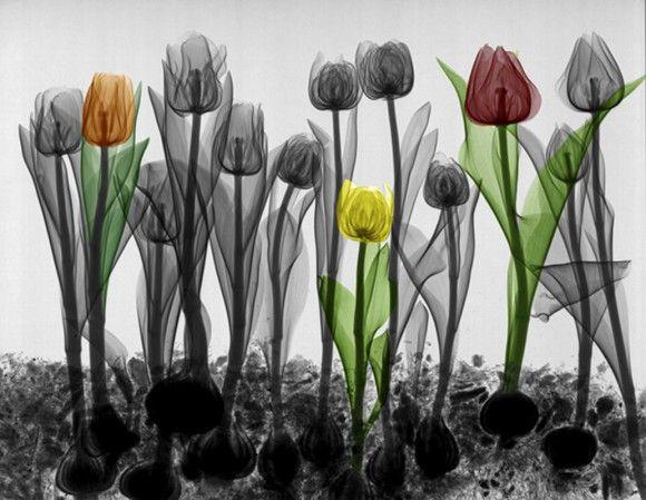 xray tulips arie van t riet
