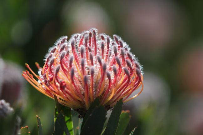 Scarlet Ribbon (Leucospermum glabrum) [08001]  www.timhoney.co.za