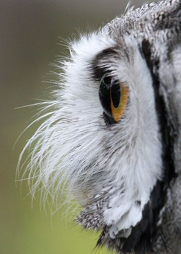 "Owl Eye. One of the best at seeing motion, plus ""offset"" ears for triangulation, this is a master predator. And they fly in ""whisper"" mode and prey virtually never see them coming."
