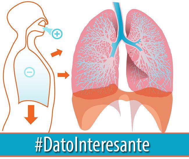 #DatoInteresante | Los pulmones contienen más de 300,000 millones de capilares (pequeños vasos sanguíneos). Si los pusieras punta a punta, se extenderían hasta 2,400 kilómetros.  Aprende más sobre el cuerpo humano→  http://akademeia.ufm.edu/home/?curso=educacion-para-la-salud  #CuerpoHumano #Ciencia #Biología