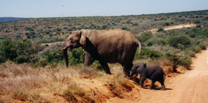Elephants, Addo Elephant Park, Eastern Cape, South AfricaWild Animal, Ofsouth Africa, Land Ofsouth, Elephant Parks, Eastern Capes, Addo Elephant