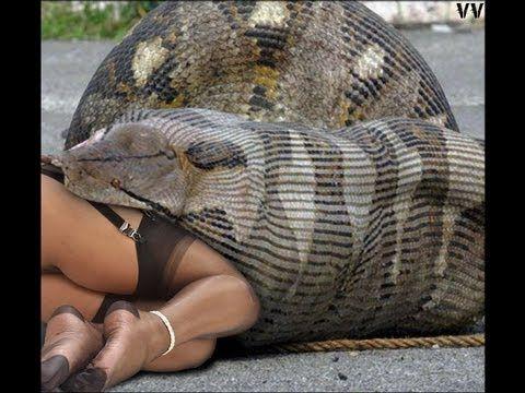 Anaconda Snake green anaconda the bigest in the wolrd Eunectes murinus ก...