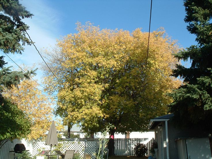 The maple tree in the back yard