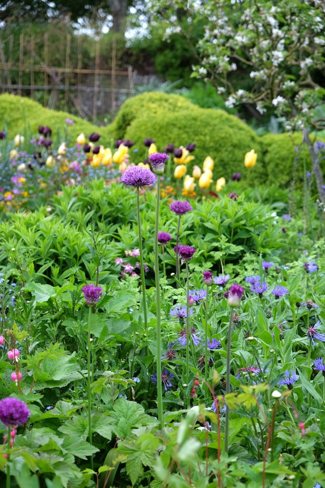 Englische Gärten - Allium vor Tulpen und Buchsbaumwellen, Garten der Künstlerin Vanessa Bell, Charleston Farmhouse, Firle, East Sussex, UK