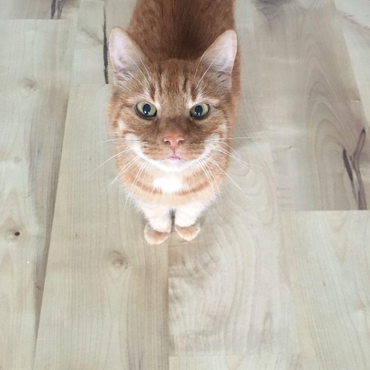 ginger cat ❤️
