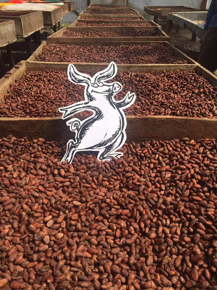 Truffle Pig is standing guard on our cocoa that is drying the the sun. drying cocoa is very important! Direct Trade cocoa beans!