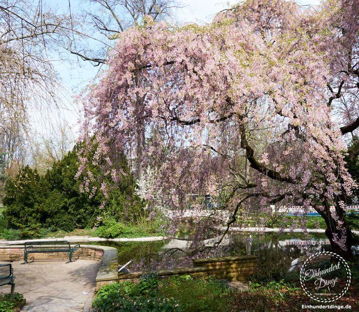japanischer Kirschbaum im Palmengarten Frankfurt