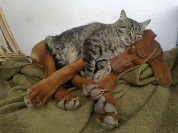 cat thinks the dog friend is the best pillow