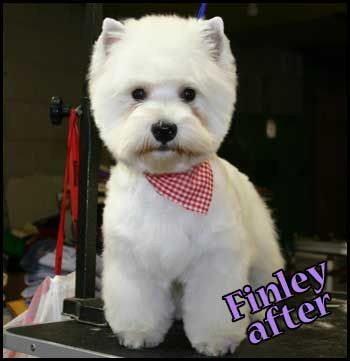 "mini schnauzer hair long ""hair cuts"" | Axcium Pet Grooming, Dog grooming and hand-stripping in Atlanta GA"