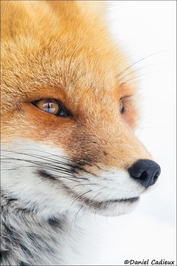 Contemplative Red Fox - Female Red Fox contently staring out into the distance....